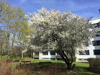 Körsbärsträd förstasidan Brf Räven webb